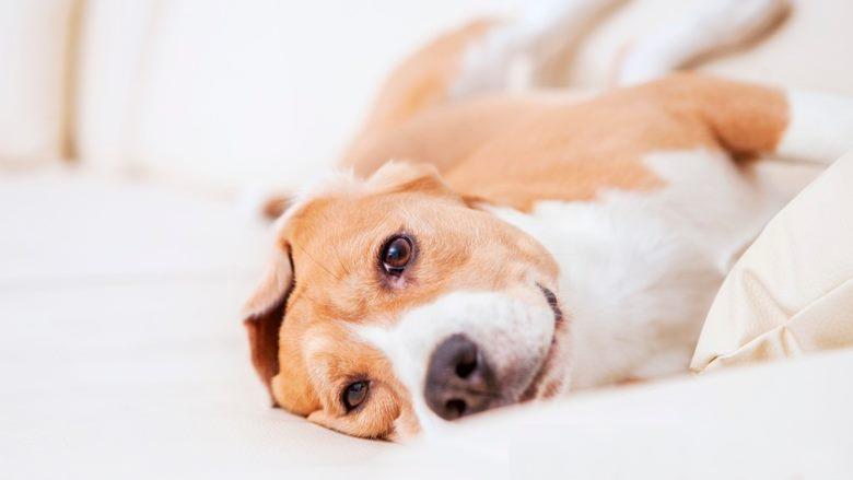 Os sintomas do cancro nos cães