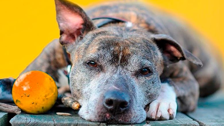 Cuidados que você deve tomar antes de decidir operar o seu cão velhinho