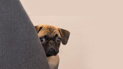 Como aumentar a confiança de cães medrosos?